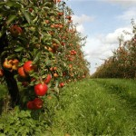 haspengouwse-oogstfeesten-zetten-fruitoogst-in-de-kijker-id1330430-1000x800-n